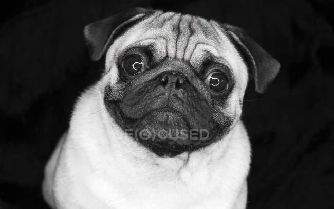 Studioaufnahme von niedlichen Mops in Monochrom, schwarzer Hintergrund — Stockfoto