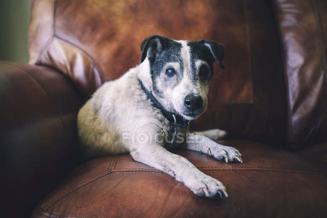 Portrait of dog on leather chair — Stock Photo