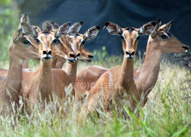 Rebanho de animais impala vermelho lindo — Fotografia de Stock
