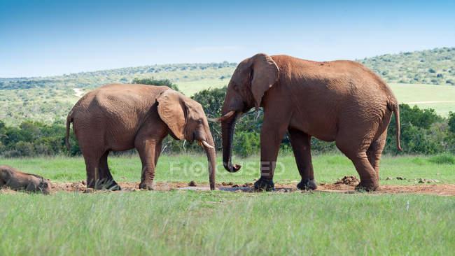 Два величественных слонов в дикой природе — стоковое фото