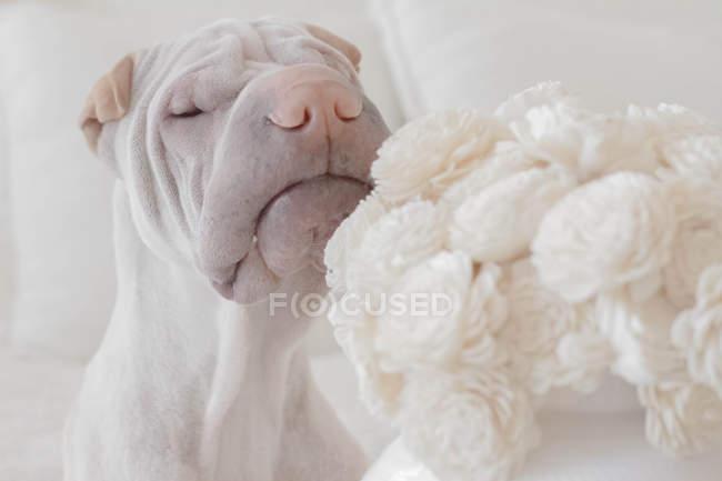 White Chinese Shar-Pei dog sniffing white flowers — Stock Photo