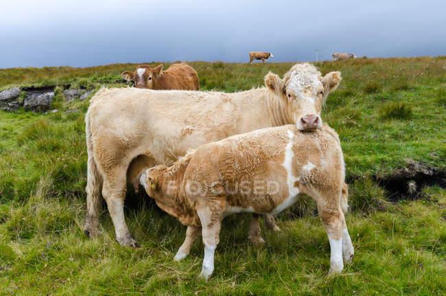 Belle mucche in campo verde, Scozia — Foto stock