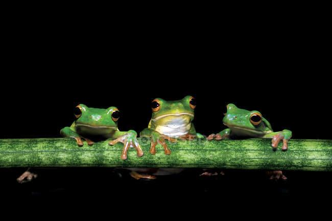 Три лягушки держа на стебле растения, черный фон — стоковое фото