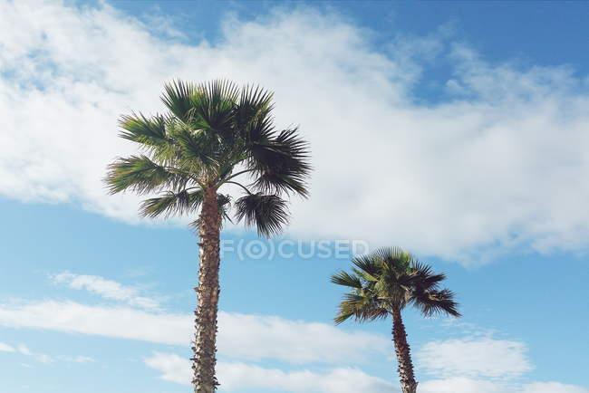 Vue panoramique de deux palmiers contre ciel bleu avec nuages — Photo de stock
