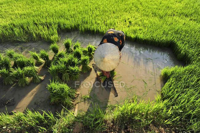 Frau pflanzt Reispflanzen in Reisfeld — Stockfoto