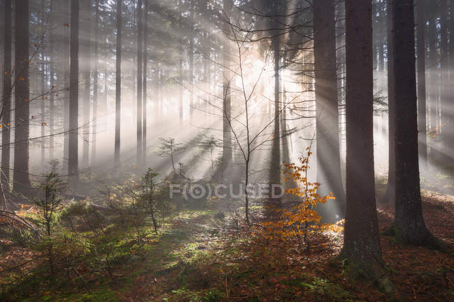 Scenic view of sunlight streaming through trees at sunrise, Friuli-Venezia Giulia, Italy — Stock Photo