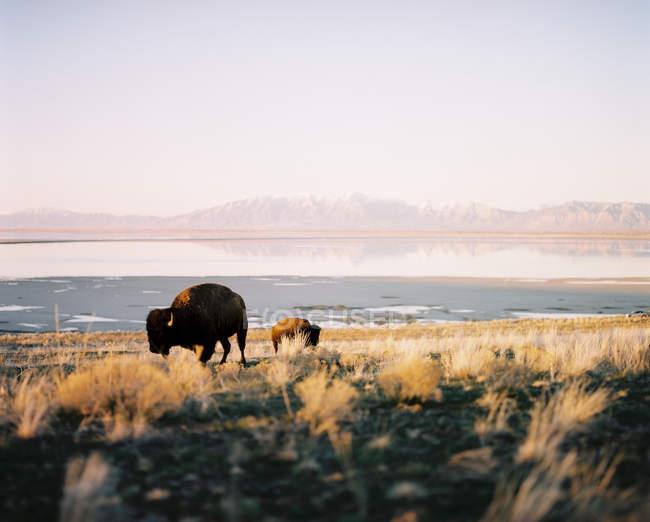 Bufali al pascolo sull'isola di Antelope, Utah, America, Stati Uniti — Foto stock