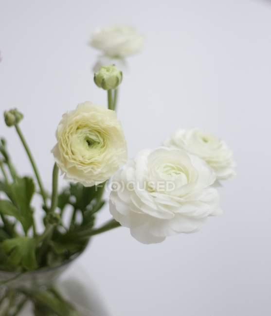 Close-up of White ranunculas flowers in vase on white background — Stock Photo