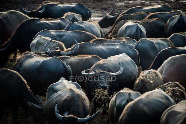 Primer plano de una manada de búfalos de agua, Tailandia - foto de stock