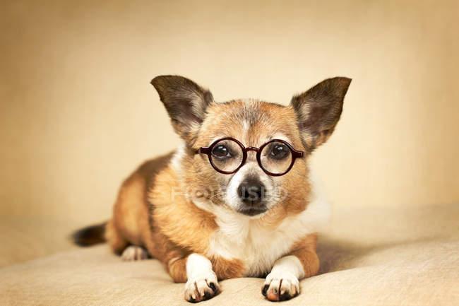 Retrato de cerca de Chihuahua Dog con gafas y mirando a la cámara - foto de stock