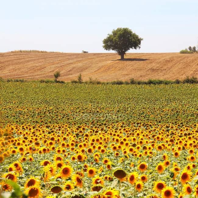 Vista panorámica del campo de girasol y del árbol, Niort, Poitou-Charentes, Francia - foto de stock