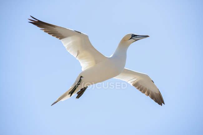 Pájaro de gannet norteño vuela en el cielo, primer plano - foto de stock