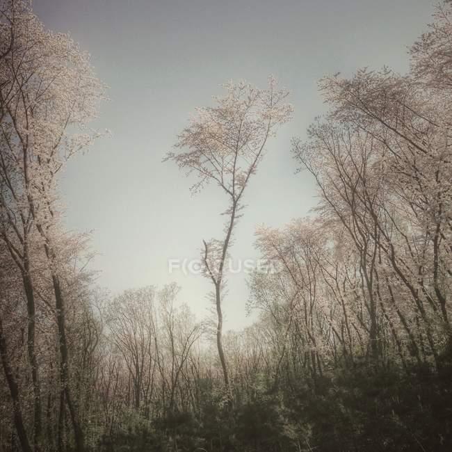 Мальовничий вид на дерева вишні — стокове фото