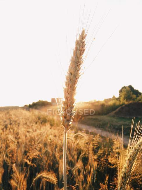 Close-up of an ear of wheat at sunset — Stock Photo