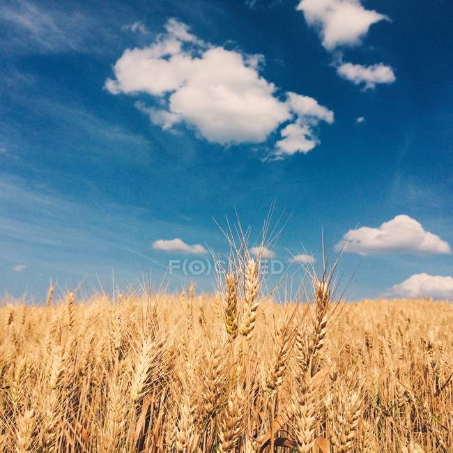 Scenic view of wheat field under cloudy sky — Stock Photo