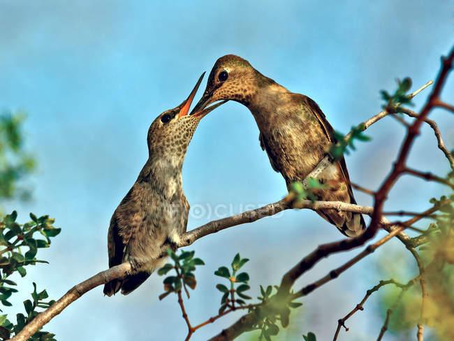 Anna Colibri se nourrissant poussin sur branche d'arbre — Photo de stock