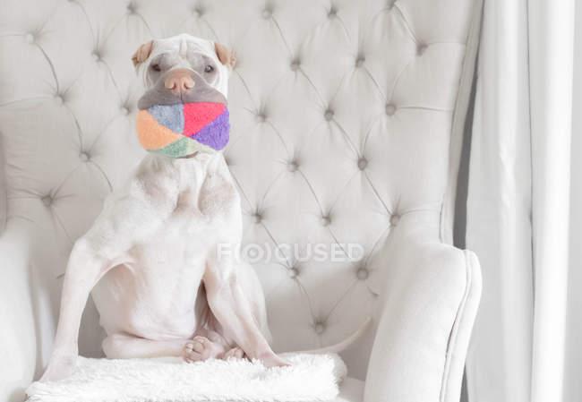 Bianco cinese Shar-Pei cane seduto su una poltrona bianca con una palla in bocca — Foto stock