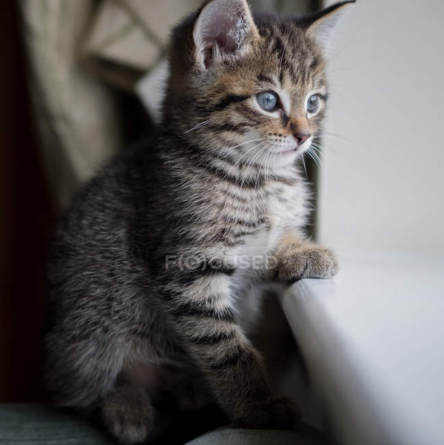 Tabby kitten looking out of window — Stock Photo