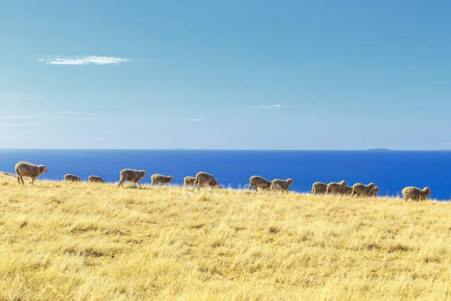 Scenic view of sheep in a field, Kangaroo Island, Australia — Stock Photo
