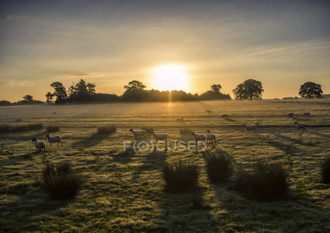 Sheep in a field at sunrise, Berkshire, England, UK — Stock Photo
