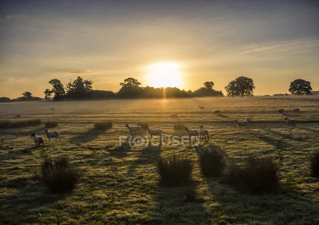 Овець у полі при сходом сонця, Беркширі, Англія, Великобританія — стокове фото
