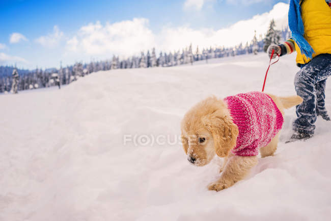 Child walking golden retriever puppy dog in the snow — Stock Photo