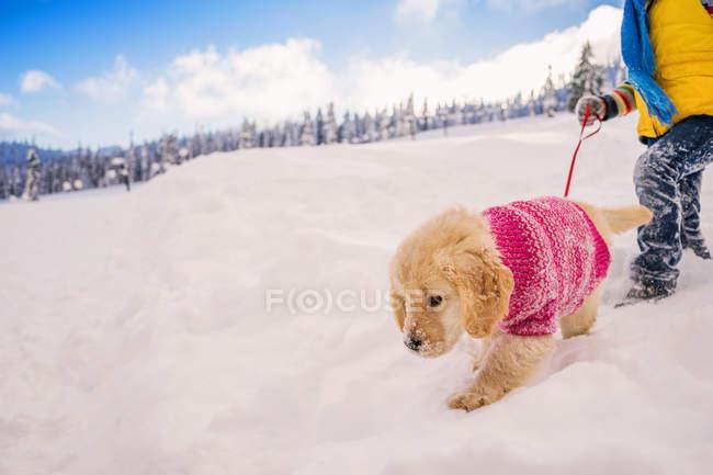 Child walking golden retriever puppy dog in the snow — Stock Photo