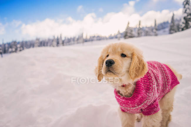 Golden retriever puppy wearing pink sweater playing in the fresh snow — Stock Photo
