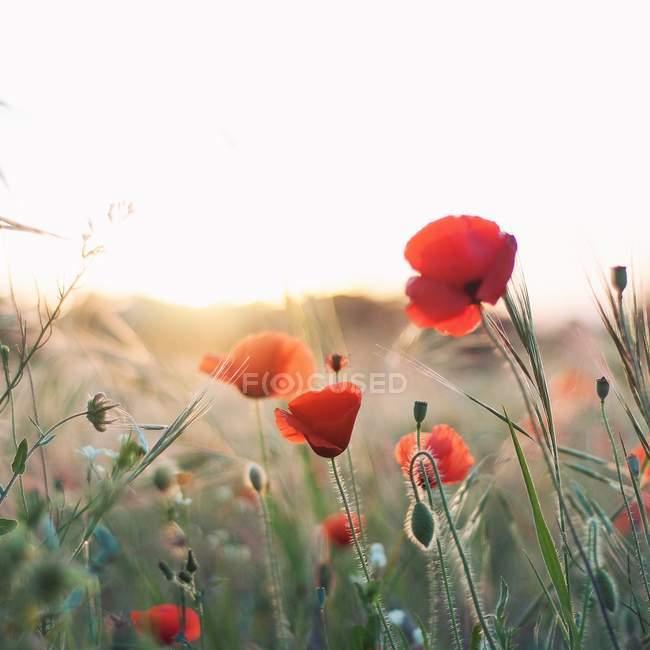 Close-up de flores de papoilas ao pôr do sol contra fundo borrado — Fotografia de Stock