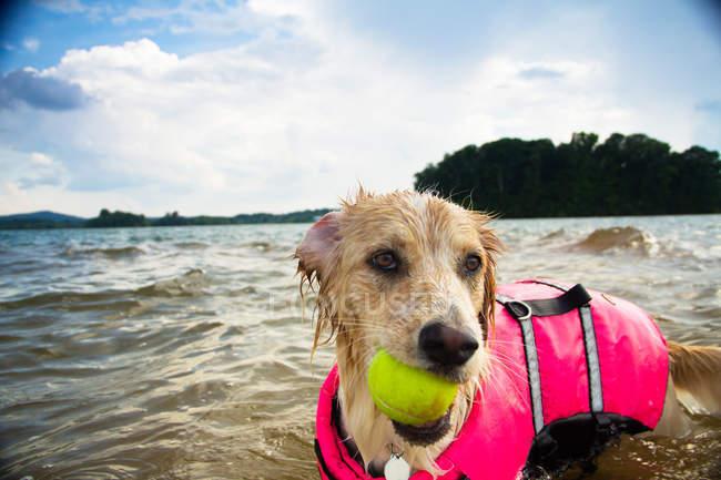 Border collie Dog играет с теннисным мячом в озере — стоковое фото