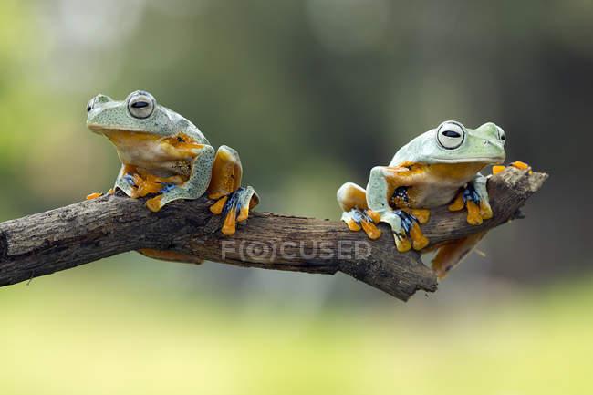 Duas rãs atarracadas sentado no galho batendo fundo desfocado, o conceito de imagem engraçada — Fotografia de Stock