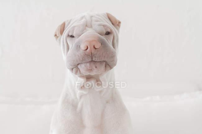 Портрет белый Китайский шар-пей собака, скептическое выражение — стоковое фото
