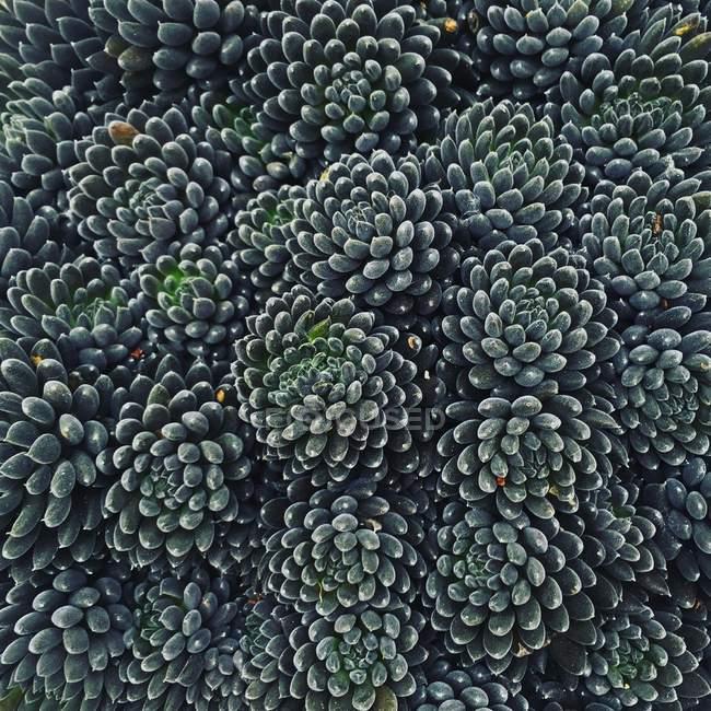 Gros plan de vert beau fond de plante succulente — Photo de stock