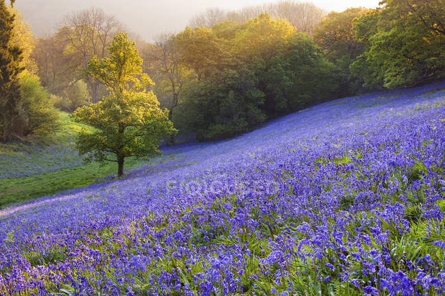 Scenic view of bluebells in the countryside, minterne Magna, Dorset, England, UK — Stock Photo