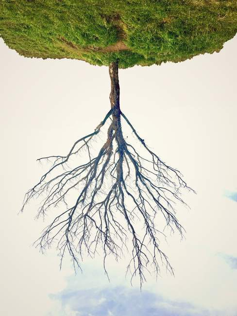 Upside down view of bare tree — Stock Photo