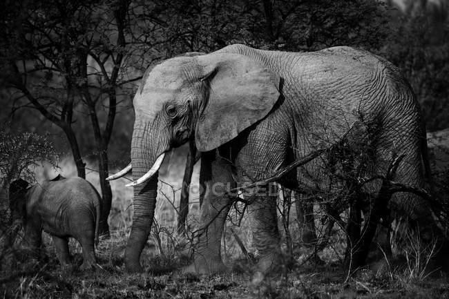 Monochromes Bild schöner Elefanten in wilder Natur, Mutter mit Jungtier — Stockfoto