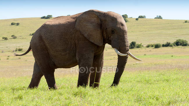 Beautiful elephant standing on green lawn at wild nature — Stock Photo