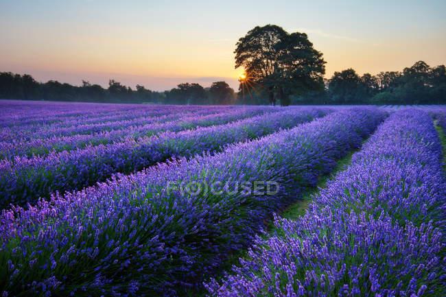 Uk, england, banstead, surrey, malerische Aussicht auf schöne Lavendelfelder bei Sonnenaufgang — Stockfoto