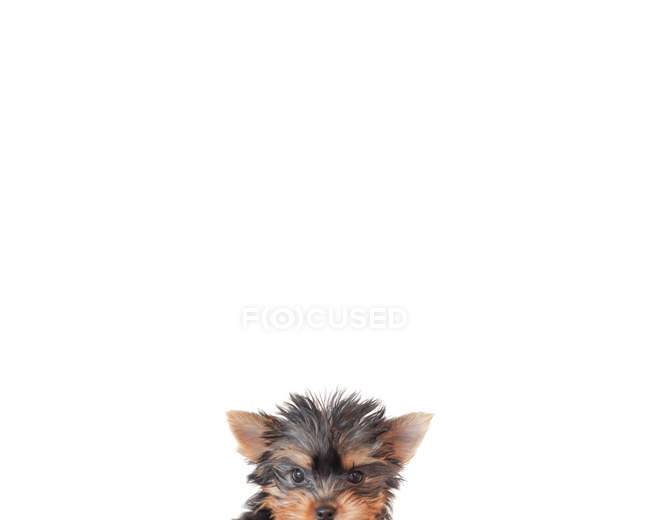 Close-up of a puppy yorkie dog face against white background — Stock Photo