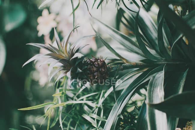 Close-up da planta de abacaxi tropical, crescendo na estufa — Fotografia de Stock