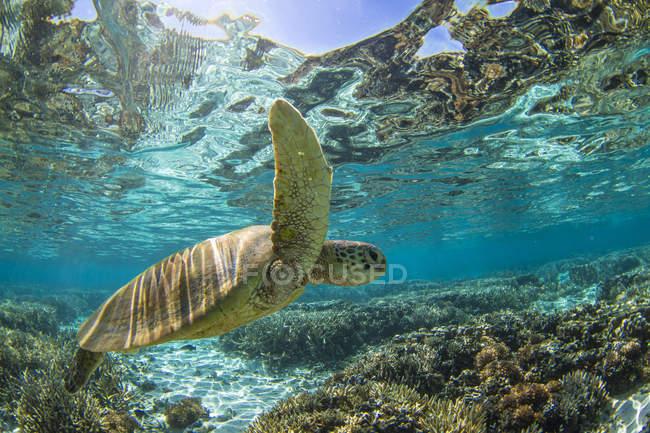 Tortue imbriquée, nage sur la corail dans l'océan, sous l'eau, grande barrière de corail, Queensland, Australie — Photo de stock