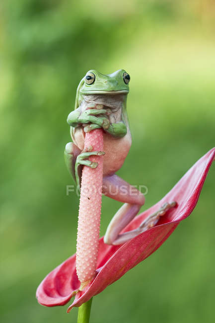 Тёмная древесная лягушка, стоящая на цветке антуриума — стоковое фото