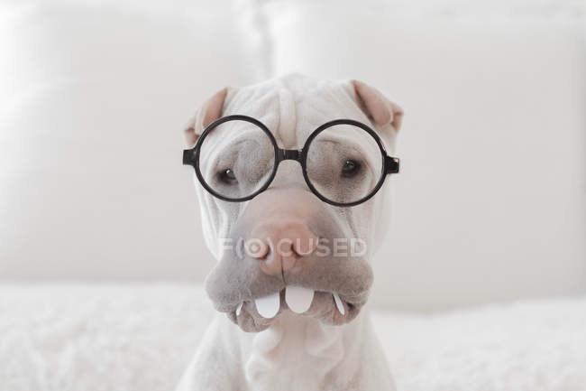 Portrait of white Chinese Shar-Pei dog with glasses and teeth — Stock Photo