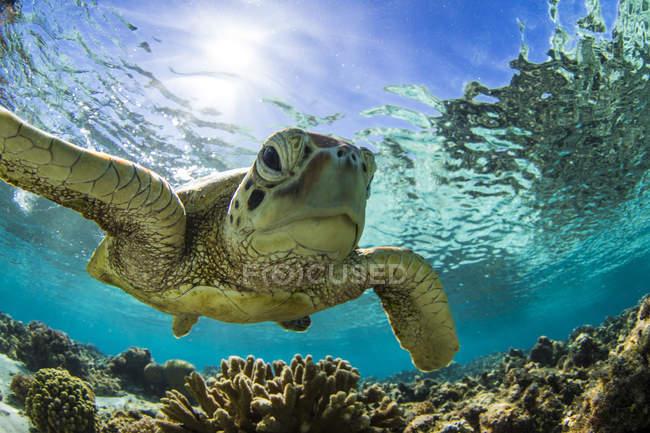 Tortue imbriquée, nage sur le récif sous-marin, grande barrière de corail, Queensland, Australie — Photo de stock