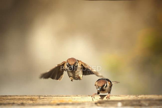 Птах сидить на гілці з птах, летить у повітрі, Jember, Індонезія — стокове фото