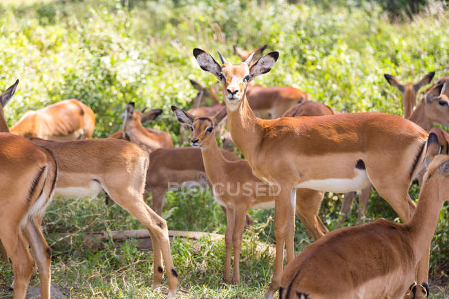 Stormo di antilopi marroni in piedi in natura — Foto stock