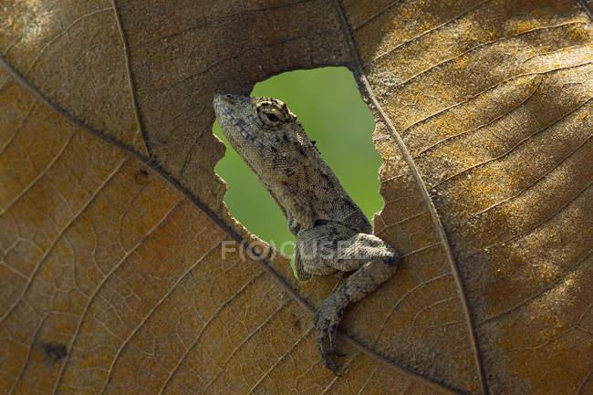 Закри смішні ящірка дивлячись через отвір в аркуш — стокове фото