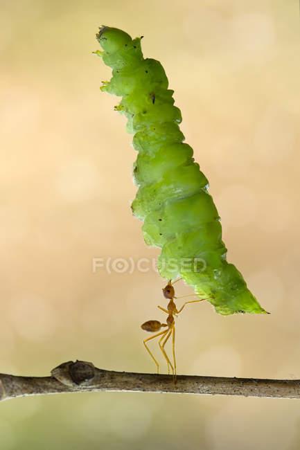 Hormiga llevando hoja grande sobre fondo borroso - foto de stock
