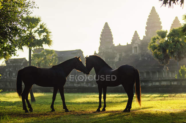 Two horses standing in front of Angkor Wat, Siem Riep, Cambodia — Stock Photo