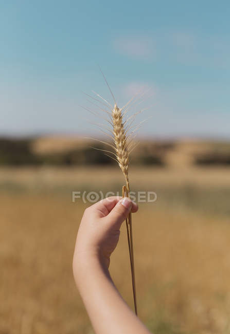 Hand of little boy holding a wheat stalk — Stock Photo